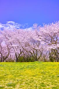 満開の桜並木と土手の写真素材 [FYI00923459]