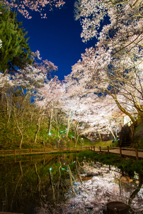 照らされて 満開の夜桜の写真素材 [FYI00924030]