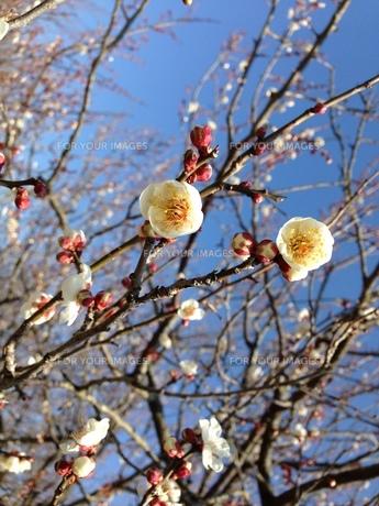 梅の写真素材 [FYI00924178]