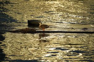 夕陽の照らす海面と海鳥の風景の写真素材 [FYI00924290]