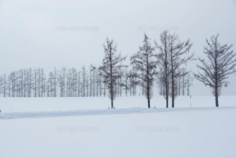 冬の丘のカラマツ並木 美瑛町の写真素材 [FYI00924538]