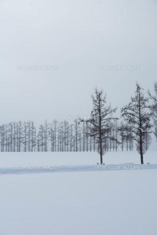 冬の丘のカラマツ並木 美瑛町の写真素材 [FYI00924553]