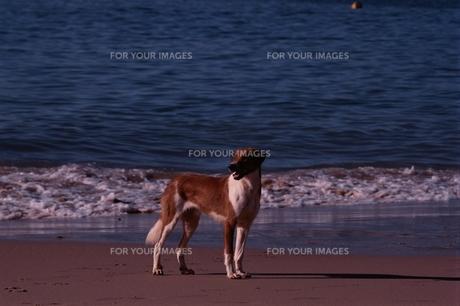 海 犬の素材 [FYI00924732]