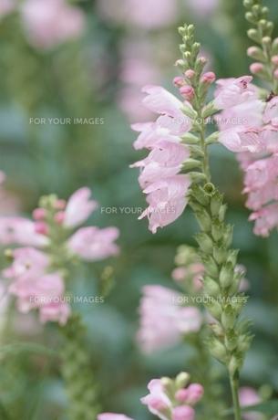 花・植物 花の素材 [FYI00925197]
