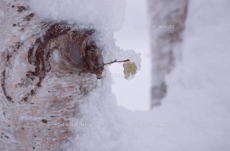 花・植物 凍葉の素材 [FYI00925206]