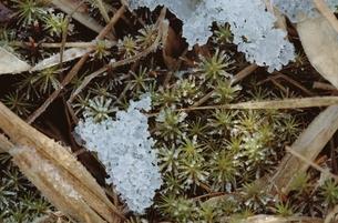 花・植物 凍雪 葉の素材 [FYI00925235]