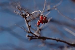花・植物 凍樹 実の素材 [FYI00925264]
