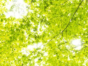 新緑の木の素材 [FYI00926008]