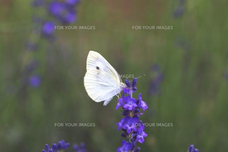 ラベンダーと蝶の素材 [FYI00927720]