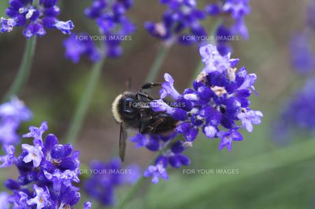 ラベンダーとハチの素材 [FYI00927768]