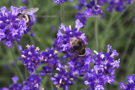 ラベンダーとハチの素材 [FYI00927782]