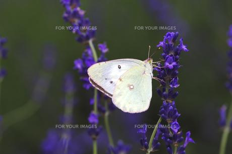 ラベンダーと蝶の素材 [FYI00927783]
