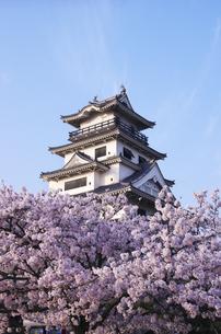 今治城と桜の素材 [FYI00928218]