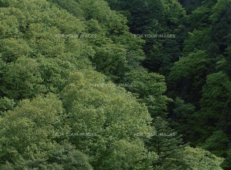新緑のブナ森林の素材 [FYI00929994]