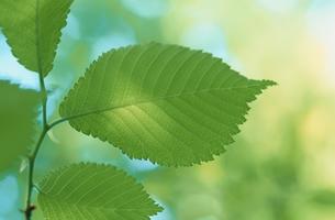 葉の素材 [FYI00930600]