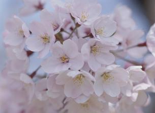 ソメイヨシノの花のアップの素材 [FYI00930957]