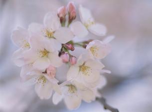 ソメイヨシノの花と蕾の素材 [FYI00930966]