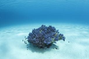 慶良間諸島の砂地の海底に咲くソフトコーラルの素材 [FYI00934062]