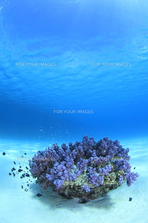 慶良間諸島の砂地の海底に咲くソフトコーラルの素材 [FYI00934109]
