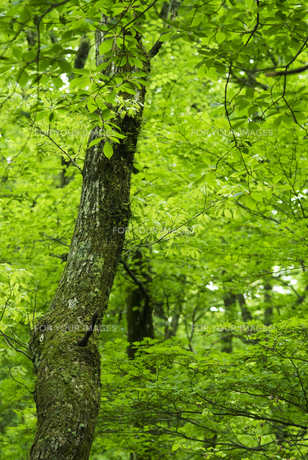 新緑の森の素材 [FYI00935004]