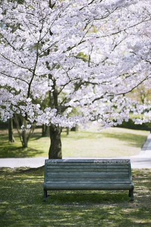 桜の樹とベンチの素材 [FYI00935083]