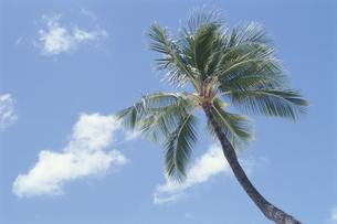 椰子の木の素材 [FYI00938571]