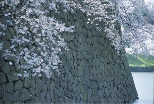 桜の素材 [FYI00939021]