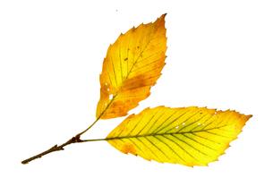 紅葉の落ち葉の素材 [FYI00939069]
