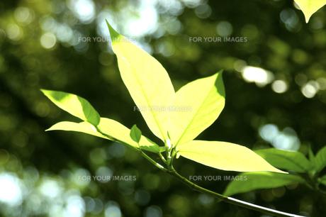 新緑の葉の素材 [FYI00939467]