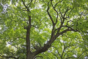 新緑の樹の素材 [FYI00939532]