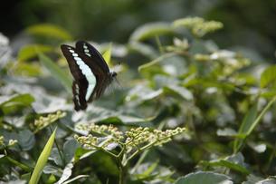 蝶の素材 [FYI00939714]