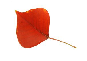 紅葉の落ち葉の素材 [FYI00939982]