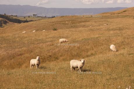 牧草地の中の羊達の素材 [FYI00940404]