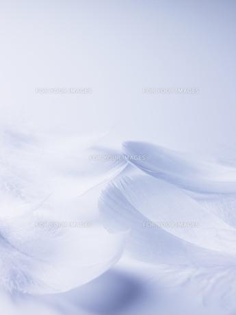 ブルーバックの白い羽根の素材 [FYI00940702]