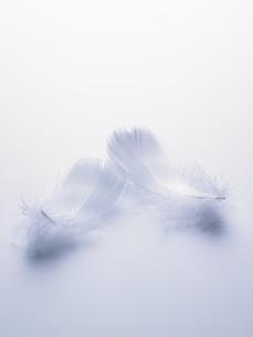 ブルーバックの白い羽根の素材 [FYI00940718]