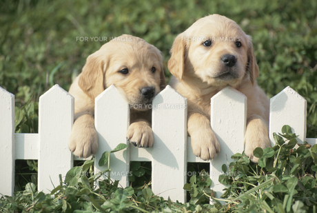柵に手をかける2匹の子犬の素材 [FYI00941284]