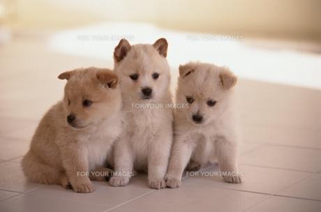 子犬の素材 [FYI00941289]
