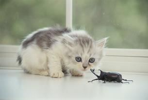 向かい合う子猫とカブトムシの素材 [FYI00941323]