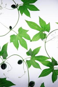緑のツル植物の写真素材 [FYI00941794]