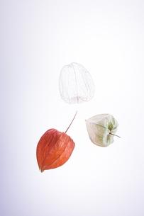 3種類のホオヅキの写真素材 [FYI00941834]