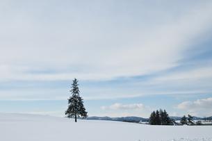 雪原に立つ松の木 美瑛町の写真素材 [FYI00941855]