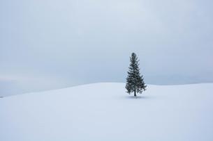 雪原に立つ松の木の写真素材 [FYI00941860]