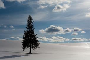 雪原に立つ松の木 美瑛町の写真素材 [FYI00941861]