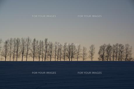 冬の夕暮れの丘とシラカバ並木 美瑛町の写真素材 [FYI00941865]