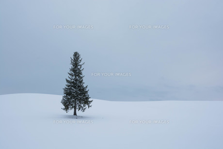 雪原に立つ松の木 美瑛町の写真素材 [FYI00941873]