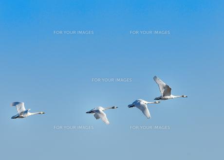 白鳥の群れの写真素材 [FYI00941879]