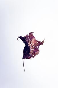 枯れ葉の写真素材 [FYI00941887]