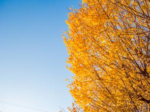 イチョウの木の写真素材 [FYI00941930]