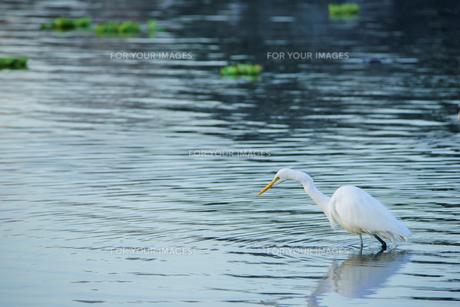 水面のサギの写真素材 [FYI00941960]