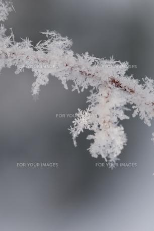 木の枝についた雪の結晶の写真素材 [FYI00942063]
